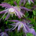 Clematis VIOLET PINK - donica