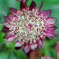 Jarzmianka MOULIN ROUGE Astrantia major -donica