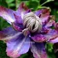 Clematis VYVYAN PENNELL - donica