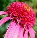 Jeżówka Double Scoop Bubble Gum (Echinacea)- donica
