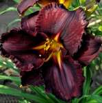 Liliowiec Black Stocking (Hemerocallis)