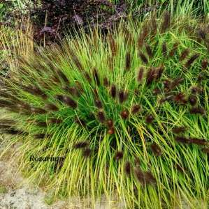 Rozplenica japońska MOUDRY (Pennisetum alopecuroides) - donica