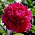 Paeonia Krystyna donica