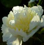 Paeonia Honey Gold - donica