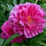 Paeonia Karl Rosenfield - donica