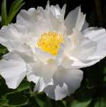 Paeonia Krinkled White - donica