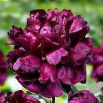 Paeonia Francoise Ortegat - donica