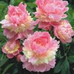 Paeonia Sorbet - donica