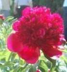 Paeonia Red Charm  - donica