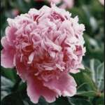 Paeonia Mons Jules Elie donica