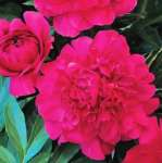 Paeonia BUNKER HILL donica
